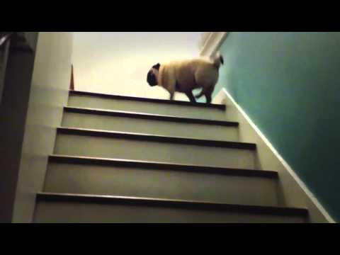 Pug Hops Like a Rabbit Up the Stairs