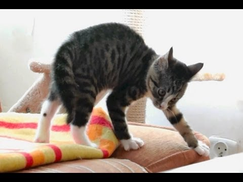 A Kitten Has Fun Playing With an Electronic Dog Toy & Older Cat