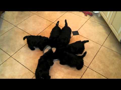Scottie Pinwheel, Six Puppies Walk Around a Food Bowl While Drinking