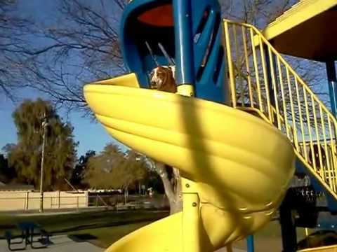 Jacques the Basset Hound Goes Down a Corkscrew Slide