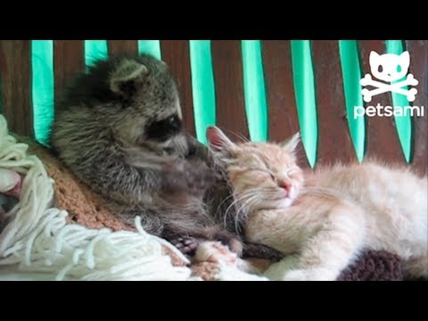 Baby Raccoon Snuggling With a Kitten