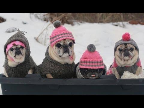 Pugs in Pom Pom Hats Go Sledding