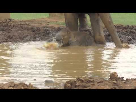 Baby Elephant Takes a Mud Bath