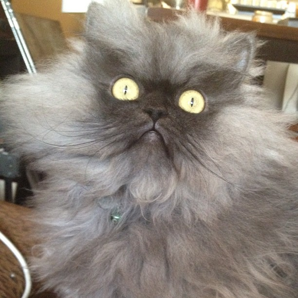 colonel meow a fluffy grey cat who looks really angry