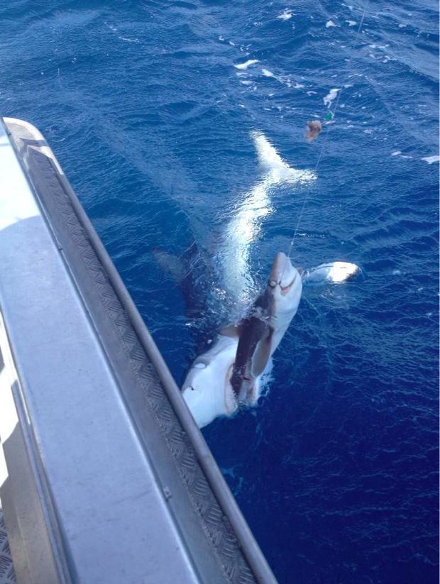 Shark eat shark