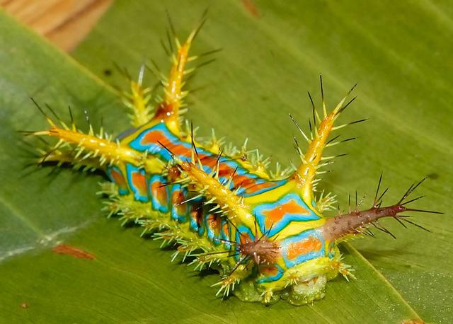 Waffle Caterpillar