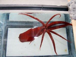 Octosquid