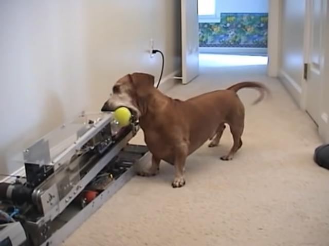 Happy Dog Plays With Tennis Ball Launching Machine