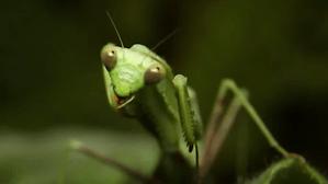 True Facts Mantis