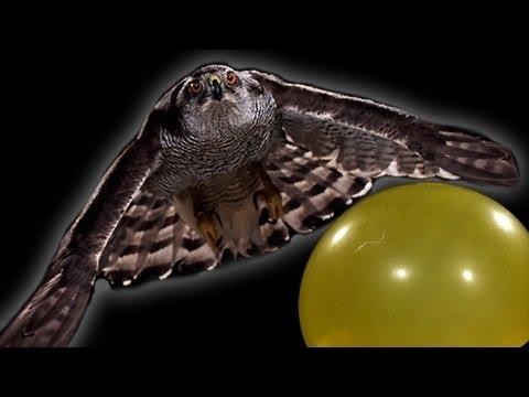 Breathtaking Footage of a Hawk Hunting in Slow Motion