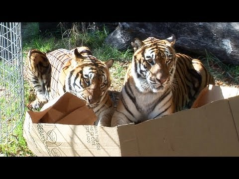 Lions, Tigers, & Other Big Cats Playing With Cardboard Boxes