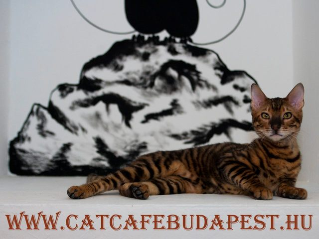 Cat Café Budapest, A Hungarian Coffee House With Live-In Cats