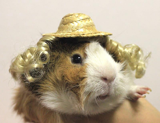 Guinea Pig Fashion, A Japanese Store Offering Stylish Wigs, Hats & Costumes For Guinea Pigs
