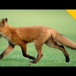 Cute Little Fox Plays With a Golf Ball