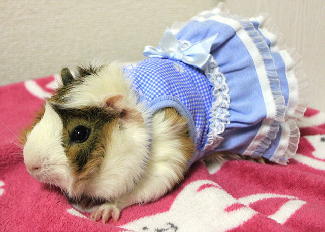 Guinea Pig Fashion, A Japanese Store Offering Stylish Wigs, Hats