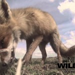 Fox Steals a Video Camera Hidden in an Animal Carcass