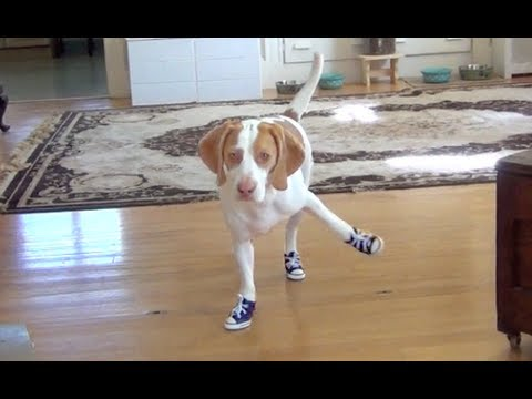 Maymo the Dog Has Trouble Walking in Sneakers