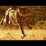 The Smithsonian Channel Explains Why You Can't Outrun a Cheetah