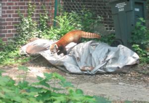 Rusty red panda on the loose in Washington