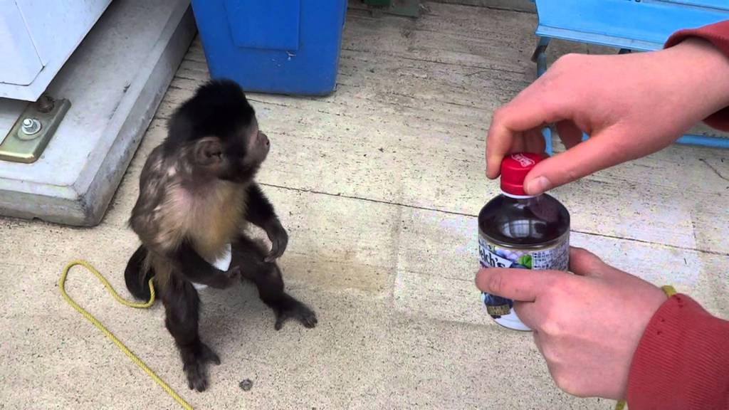 Diapered Monkey Buys Himself a Drink From a Vending Machine