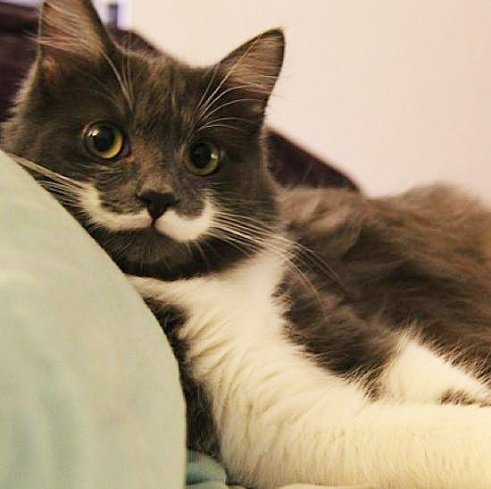 Hamilton the Mustached San Francisco Hipster Cat