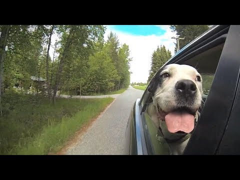 Wind In My Ears A Compilation Video Of Dogs Hanging Their