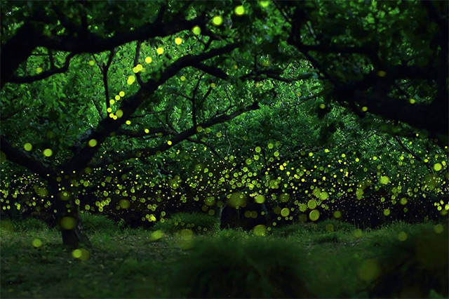 Flight Paths of Fireflies Long Exposure Photo Series
