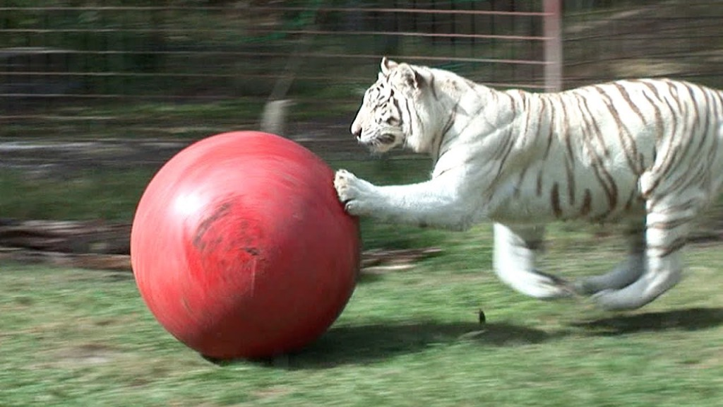 Zabu the White Tiger Plays With a Big Red Ball