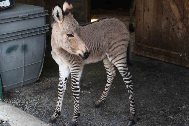 Ippo the Baby Zonkey, A Cross Between a Zebra and a Donkey