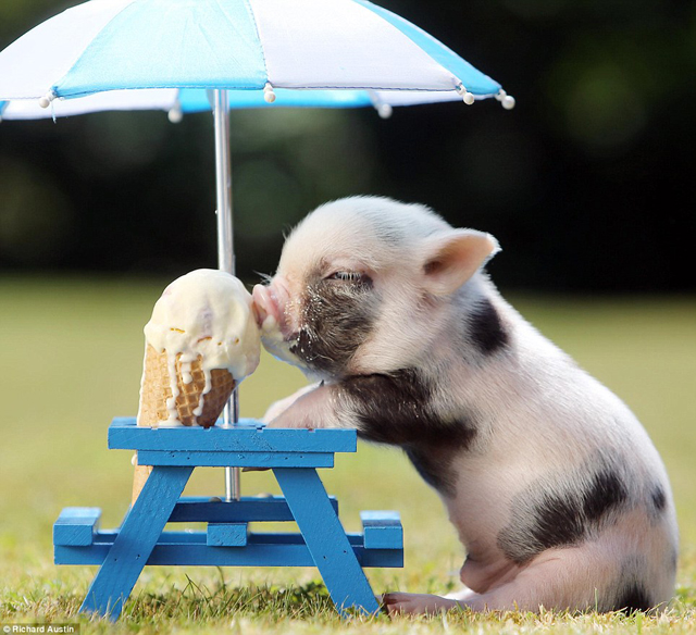 Cute baby pigs eating ice cream