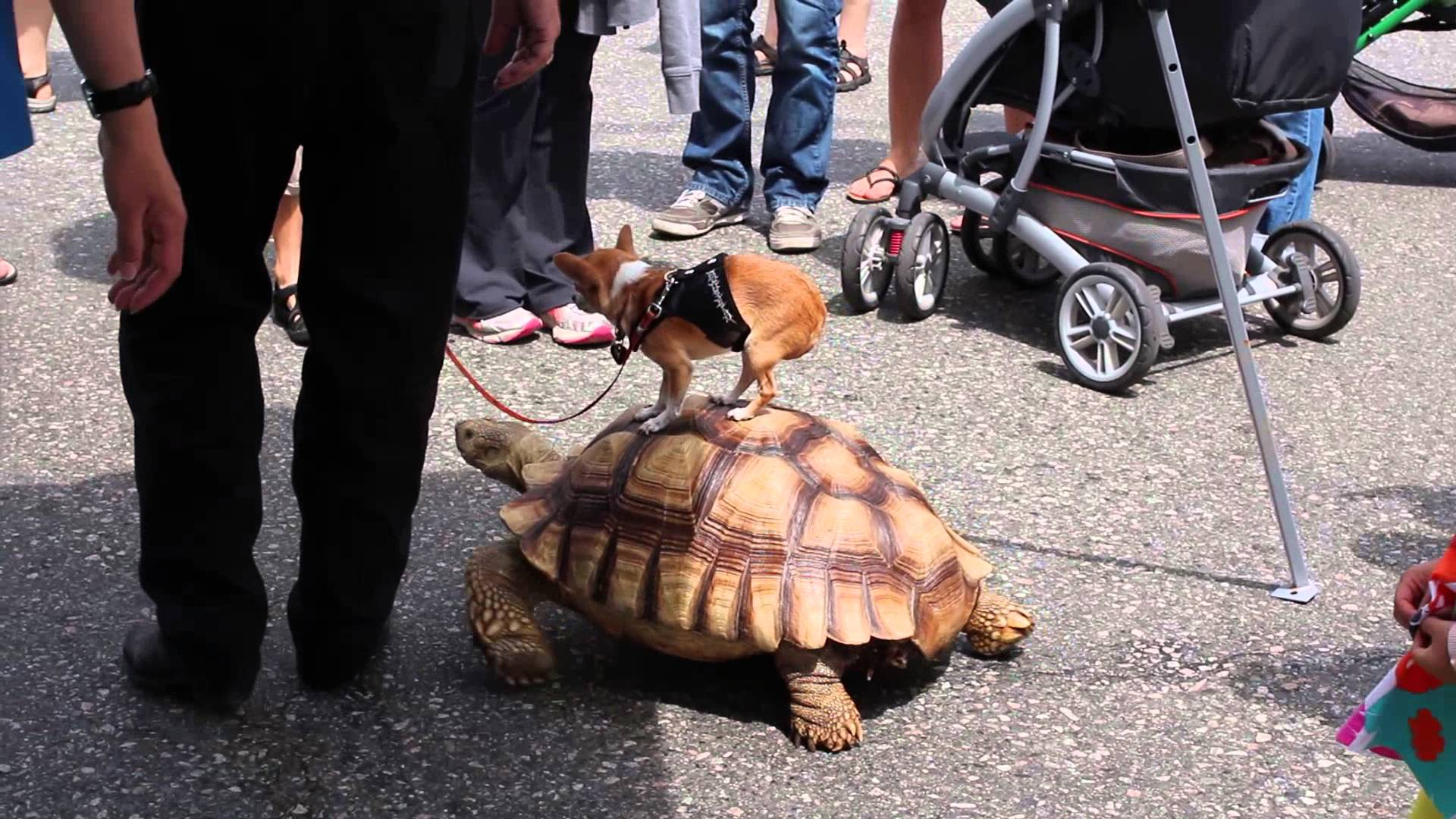 Chihuahua Riding a Tortoise