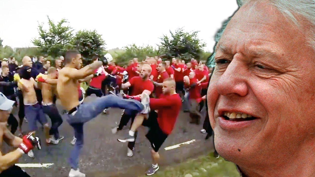 David Attenborough Narrates a Soccer Hooligan Brawl