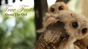 True Facts Owl