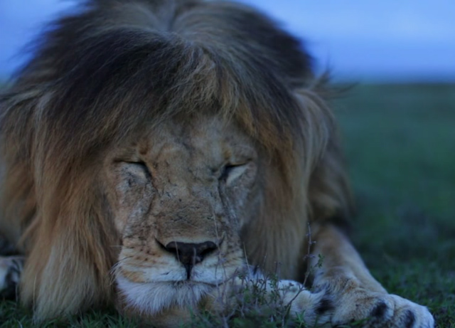 National Geographic Interactive Feature on the Serengeti Lion