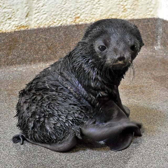 Rare Fur Seal Pup Born at New England Aquarium