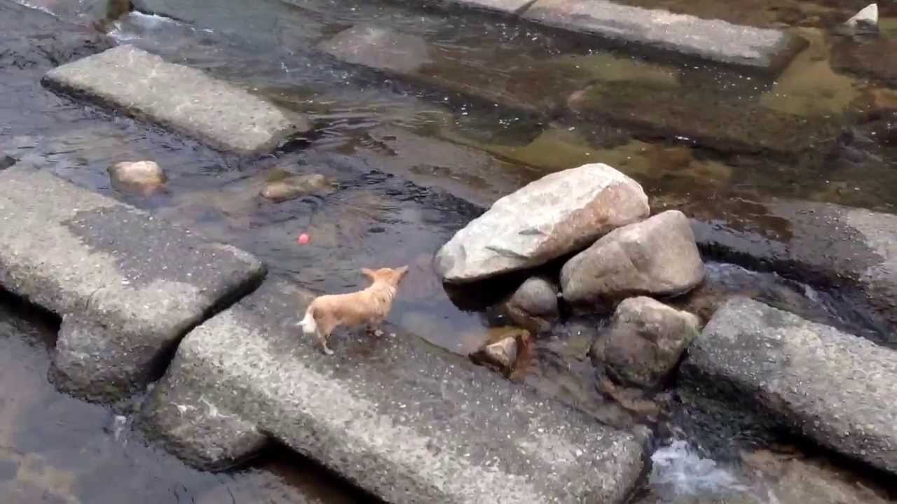 Smart Dog Plays Fetch With Himself by Dropping a Ball in Water and Running Downstream to Catch It