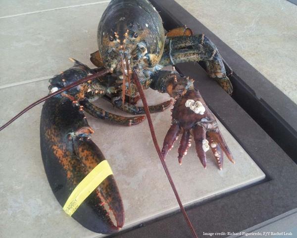 6 clawed lobster