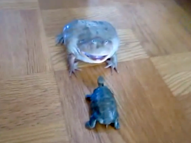 A Frog Gets Angry, Screams, & Tramples Over a Toy Turtle