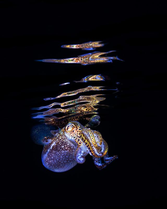 Bobtail squid photos by Todd Bretl