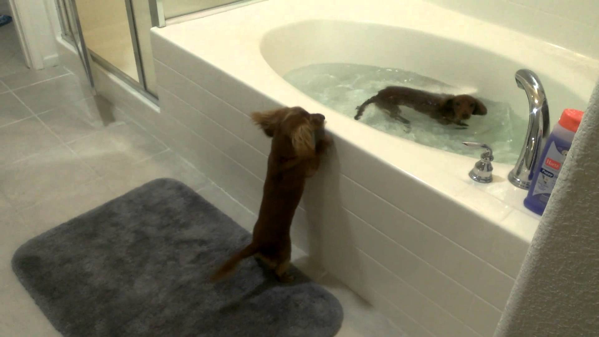Excited Mini Dachshunds Jump in the Tub for Bath Time