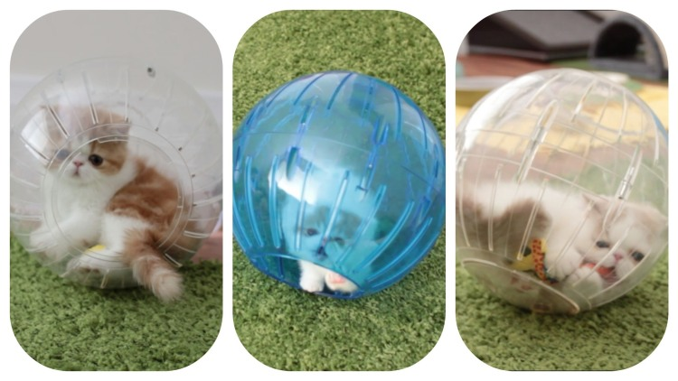 Three Adorable Kittens Roll Around & Play in Plastic Hamster Balls