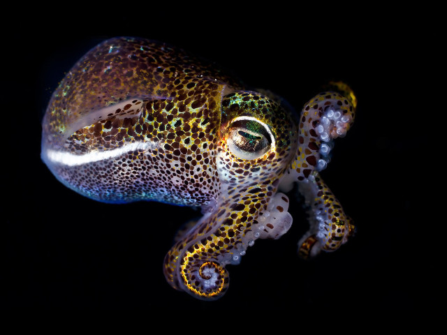 Bobtail squid photos by Todd Bretl