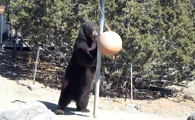 Bear Playing Tetherball