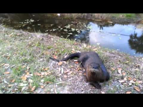 Cute Otter Approaches Two People and Plays Around Like a Dog