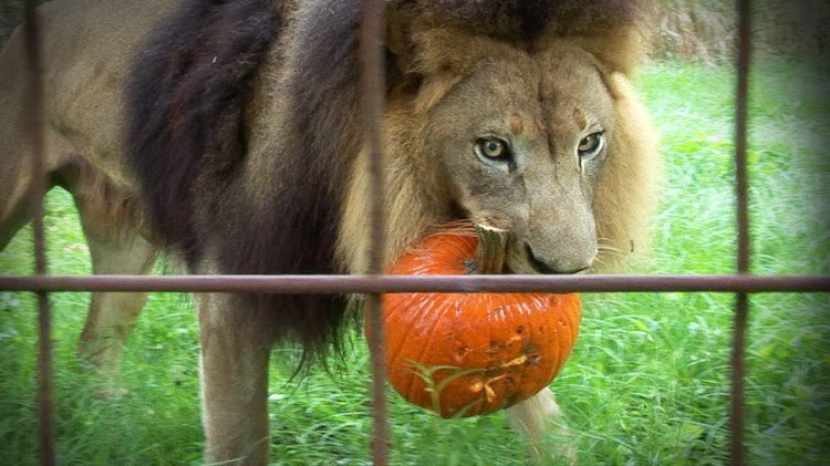 Lions, Tigers, & Other Big Cats Ripping Apart Pumpkins & Halloween Piñatas