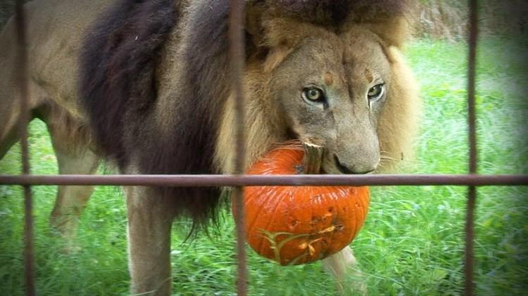 Lions, Tigers, & Other Big Cats Ripping Apart Pumpkins & Halloween Piñatas