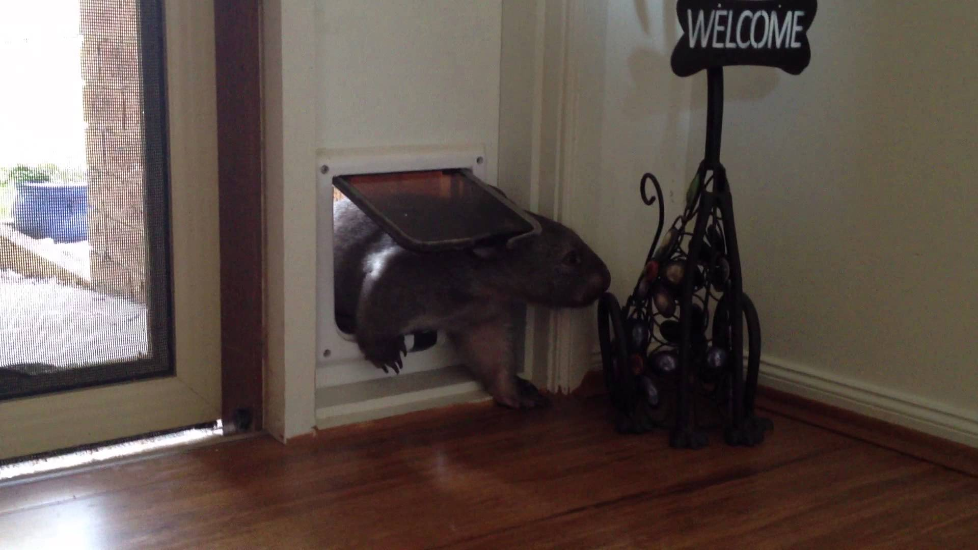 Ruby the Orphaned Baby Wombat Learns to Use a Cat Door