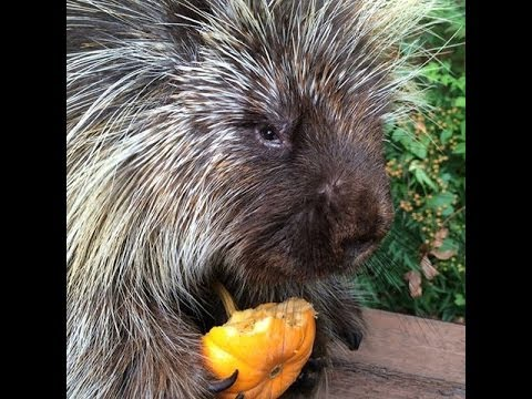 Teddy Bear The Talking Porcupine Eats A Pumpkin For Halloween