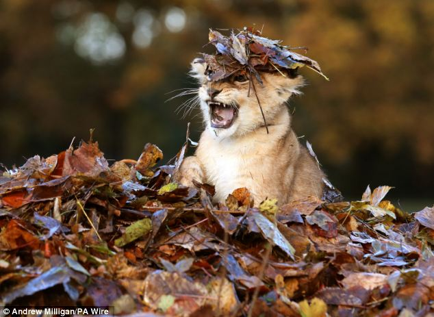 An Adorable Lion Cub Plays In a Pile of Autumn Leaves