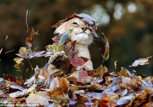Lion Cub Plays With Leaves2